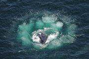 Vráskavec dlhoplutvý pri love v bublinovej sieti.