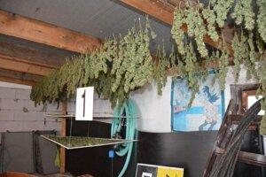 Časť z veľkého nálezu marihuany.