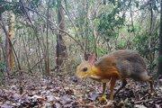 Myš alebo jeleň? Vedci si tridsať rokov mysleli, že drobný párnokopytník Tragulus versicolor je vyhynutý. Teraz ho na zábere zachytili fotopasca.