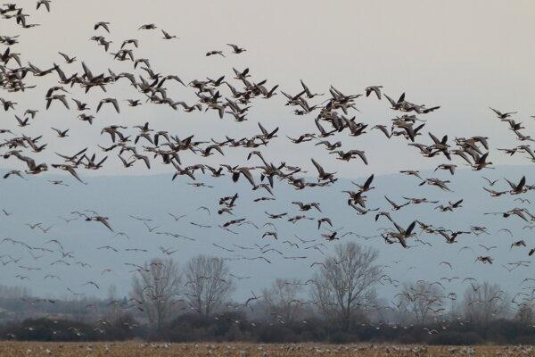 Migrujúce vtáky nad rybníkmi pri obci Senné.