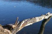 Po bobroch ostávajú obhryzené stromy.