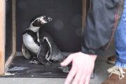 Aj tento tučniak skončí v poľskej zoo.