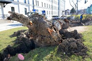 Išlo o jediný orech v areáli. Podľa pracovníkov na mieste bol strom suchý.