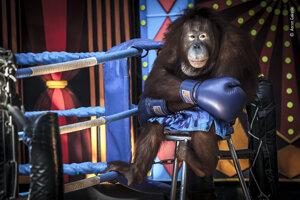 Prehratý súboj. Orangutany v Bangkoku už dlhé desaťročia zabávajú ľudí v ponižujúcich predstaveniach, v ktorých boxujú, tancujú či hrajú na bicie.