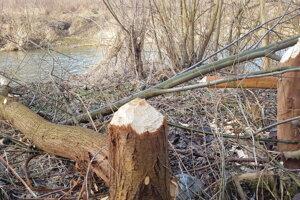 Bobry ohlodali stromy pri Toryse.