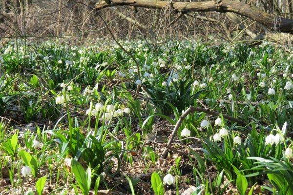 Tisíce rozkvitnutých bledúľ v rezervácii Jovsianska hrabina.
