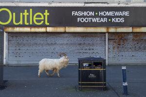 Kašmírske kozy prichádzajú do mesta z neďalekého pohoria Great Orme.