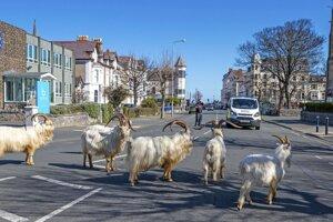 Kozy okrem prechádzky po uliciach aj oddychovali na trávnatých plochách.