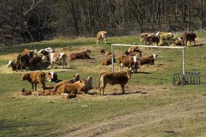 Futbalové bránky tu ostali iba na pamiatku a tak medzi nimi tu majú kravy aj s teliatkami svoj raj.