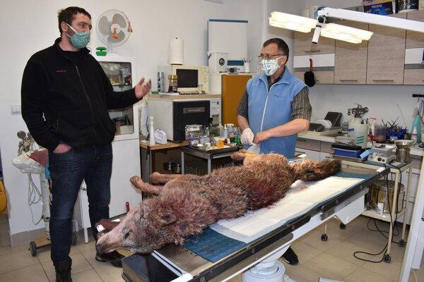 Ochranár Martin Šepeľa priviezol zrazenú vlčicu k veterinárnemu lekárovi Jánovi Ferkovi.