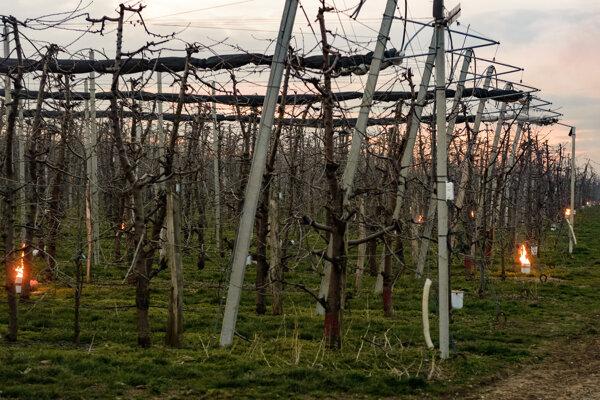 Parafínové sviece sa používajú na ochranu pred mrazom v ovocnom sade.