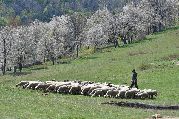 O pastierov je núdza.