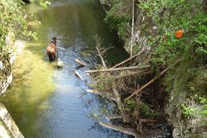 Kôň čistí tok rieky Hornád v Prielome.