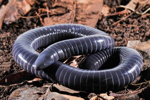 Červoň druhu Siphonops annulatus, ktorú skúmali v novej štúdii. Vedci v jej ústach objavili doteraz neznáme žľazy, ktoré by mohli vylučovať jed. Veľmi sa totiž podobajú na podobné orgány u hadov.
