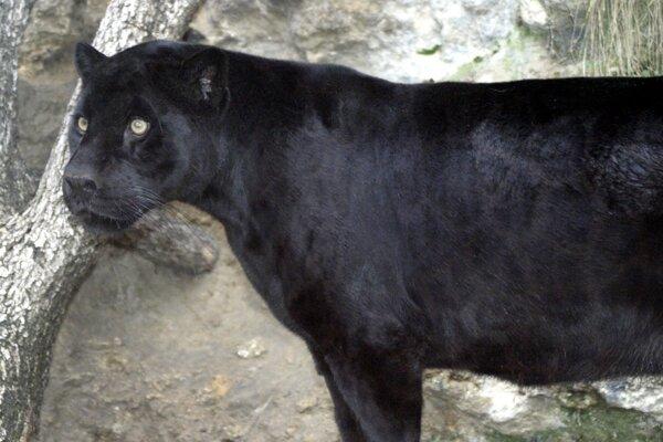 Samica leoparda škvrnitého s melanizmom.