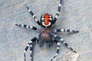 Novoobjavený druh pavúkov Loureedia phoenixi dostal meno po hercovi Joaquinovi Phoenixovi, ktorý naposledy stváril komiksového Jokera. Sfarbenie živočícha vedcom pripomenulo výrazný mejkap postavy.