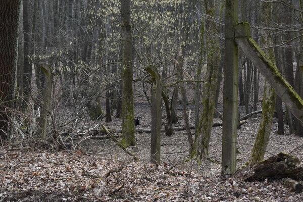 Vo zvernici žije približne 250 kusov muflónej, jelenej a diviačej zveri.