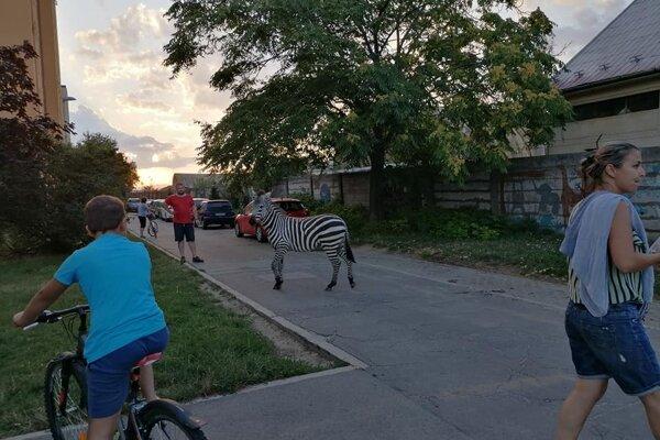 Zebra prekvapila obyvateľov sídliska Adam Trajan v Piešťanoch.