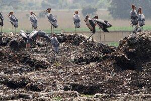 Kolónia marabu indických na smetisku v blízkosti prírodnej rezervácie Dipór Bil na okraji indického mesta Gauhátí.