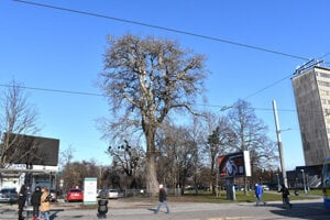 Jeden z najstarších stromov na území mesta sa nachádza v Staničnom parku.
