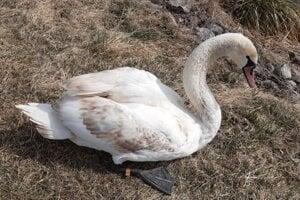 Mladého jedinca labute veľkej vypustili ochranári po rehabilitácii späť do prirodzeného prostredia v Šalkovej