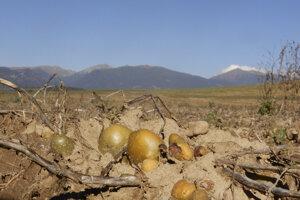 Zber zemiakov na poli pri akvaparku neďaleko Liptovského Mikuláša