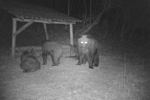 Medvede v časti Trnavej Hory.