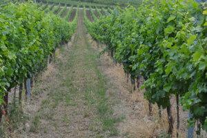 Fyloxéra sa stala postrachom vinohradníkov celého sveta.