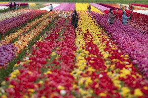 Tulipánová farma v kanadskom meste Abbotsford v provincii Britská Kolumbia.