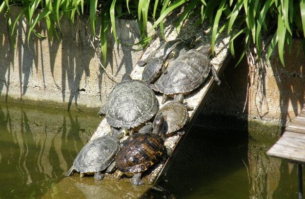 Korytnačky v bazéne pred SPU.
