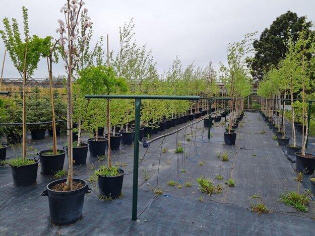 Stromčeky pripravené na výsadbu.