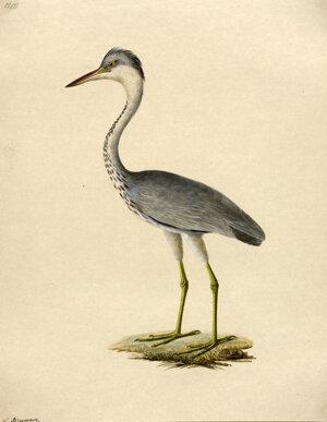 Volavka - akvarel Leopolda Brunnera