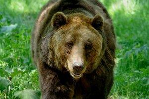 Medveď hnedý.