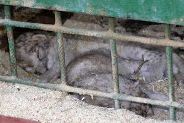 Do päťčlennej levej svorky pribudli malí levíkovia.