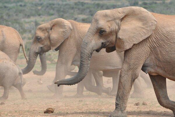 Samice slona afrického bez klov.