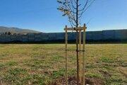 Živý pamätník stojí v novej časti Mestského cintorína v Zlatých Moravciach.