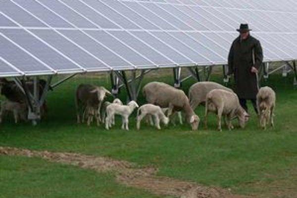 Nie je nezvyčajné, že pri zahraničných slnečných elektrárňach sa pasú ovce a kozy.