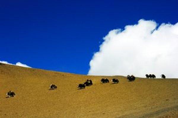 Jaky vracajúce sa z kopcov dokazujú, že bhutánske dobrodružstvo je tiché.