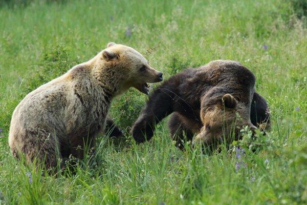 Fotograf Peter Jurík zachytil útok medvedice na dotieravého medveďa.