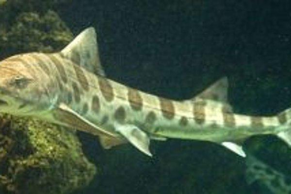 V akváriu nájdete aj žraloka leopardieho.