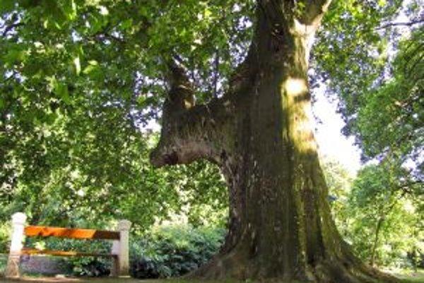 Titul Strom roka 2011 môže získať aj platan z Hlohovca.