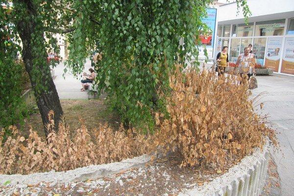 V nádobách pred bývalým hotelom Trenčan je viacero suchých kríkov.