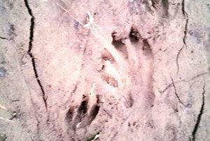 Stopy - ďalší pobytový znak bobra v Oravskej Jasenici.
