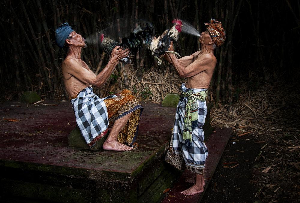 Príprava kohútov na kohútie zápasy v Indonézii.