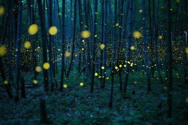 Zakliaty bambusový les. Svätojánske mušky Luciola parvula vytvárajú počas mesačnej noci v bambusovom poraste na ostrove Šikoku rozprávkovú atmosféru.