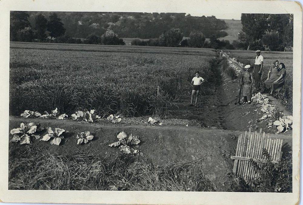 Hrádze sa využívali na pestovanie kypusty. Rok 1952, Mýtne Ludany.