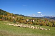 Ovce si ešte vychutnávajú zelenú pašu.