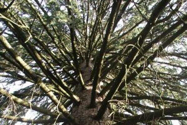 Smrek hadovitý. Strom, ktorý nemá páru.