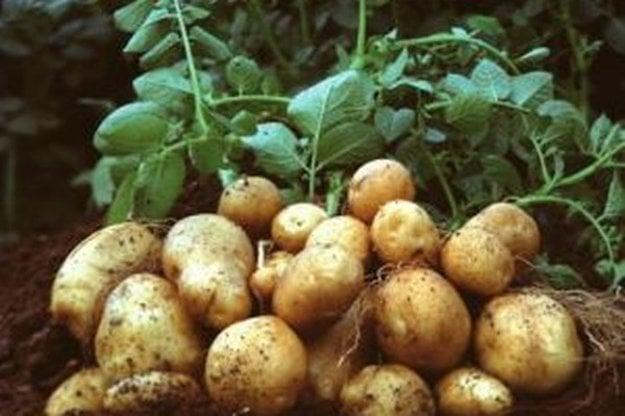 Na Kysuce sa v minulosti zemiaky nedovážali, región bol sebestačný.