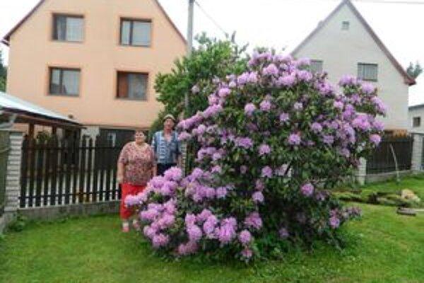 Na dvadsaťpäťročnom kríku narátali Zajacovci vyše sedemsto kvetov